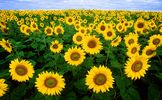 sunflower-11574_1920